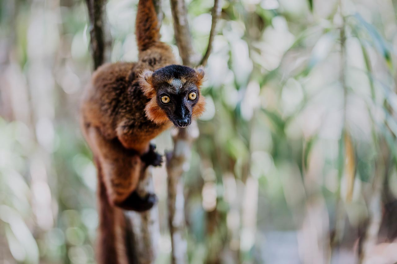 Der Mohrenmaki - Lemuren Madagaskars
