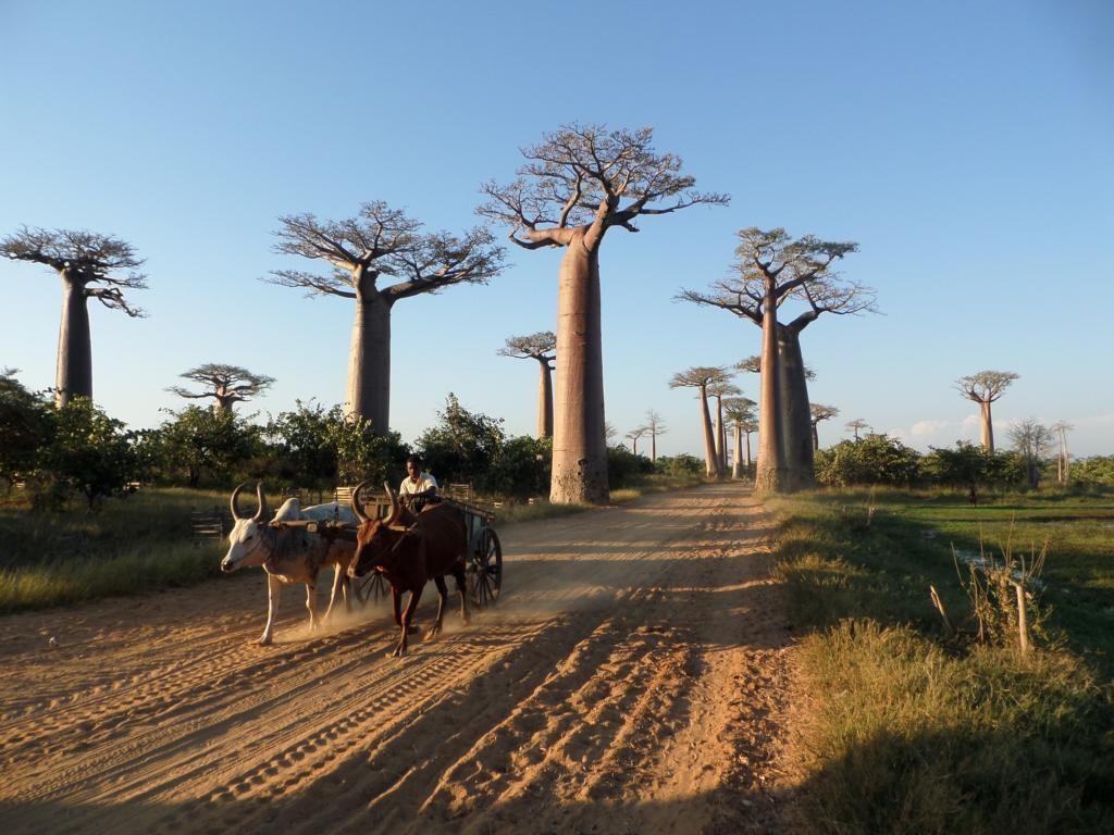 Die weltbekannte Baobab-Allee auf der Lemuren-Tour in Madagaskar