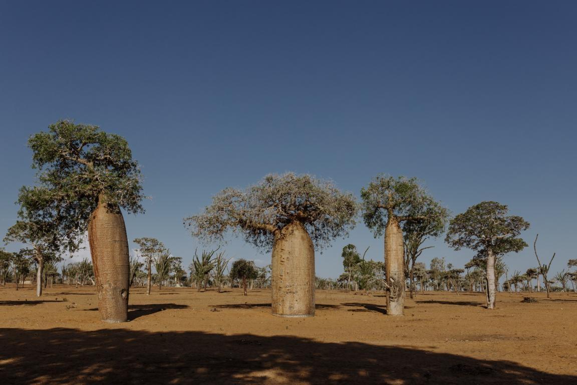 Der Wald von Morondava in Madagaskar - Baobabs