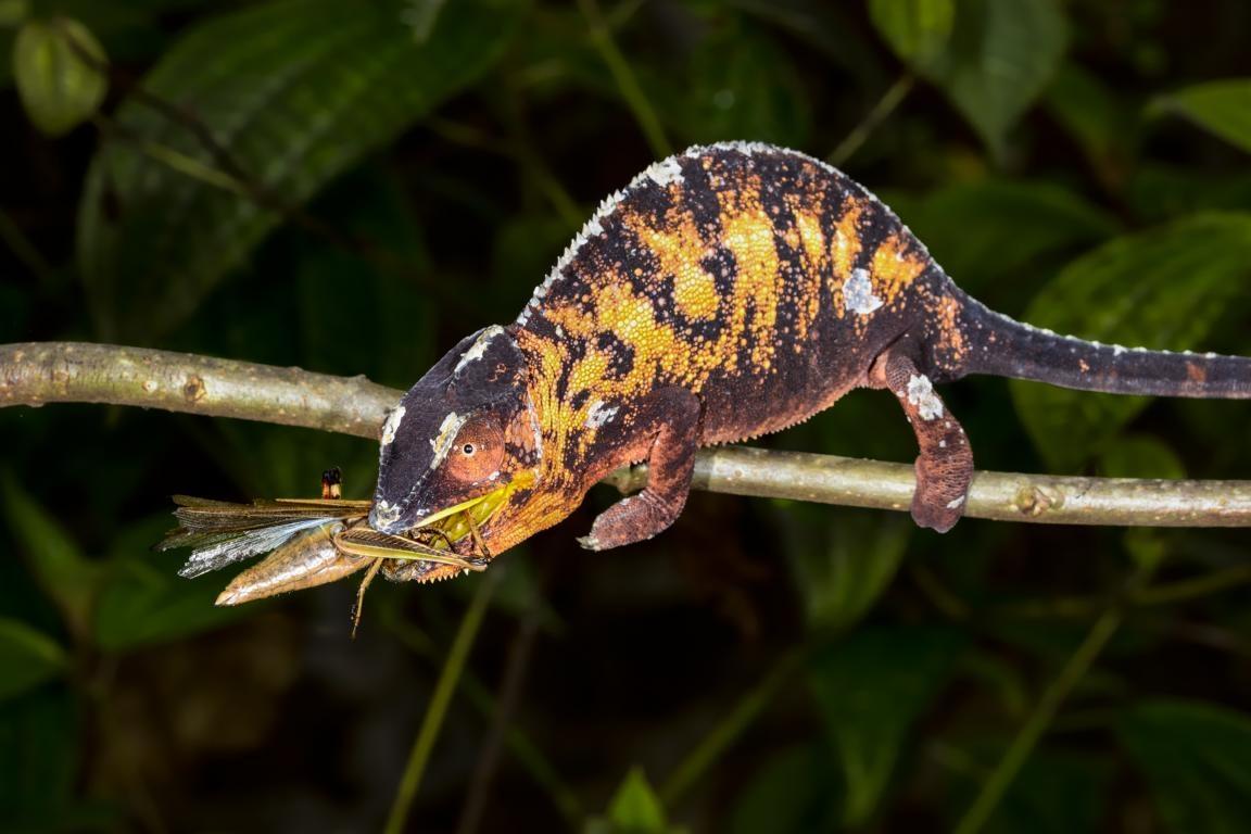 Chamäleon bei der Rundreise durch Madagaskar auf einen Blick