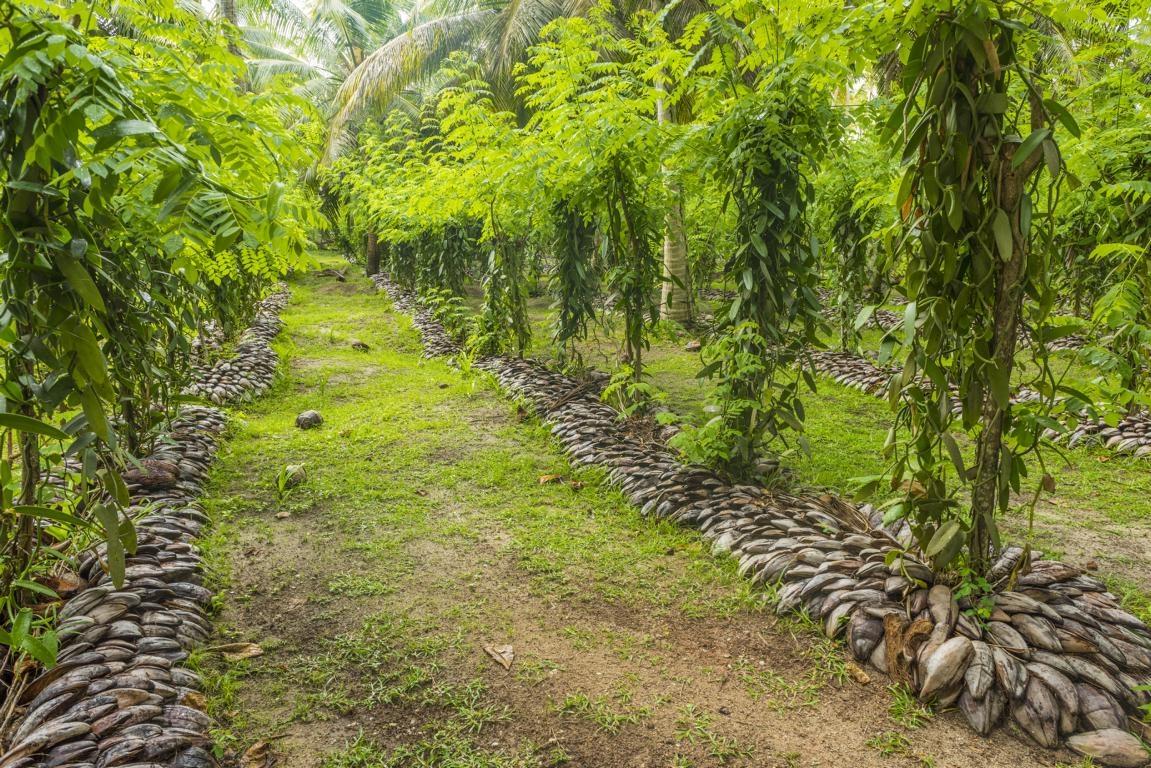 Gewürzplantage in Madagaskar - Vanille