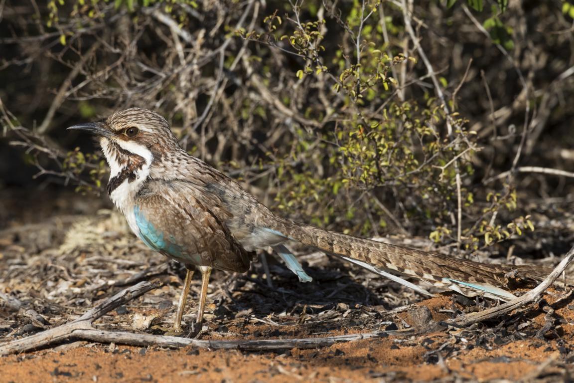 Die Langschwanz-Erdracke im Westen Madagaskars