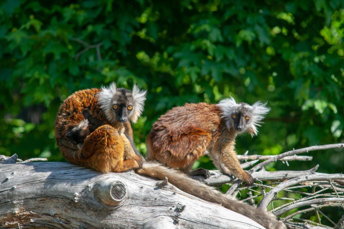 Mohrenmakis in Madagaskars Norden