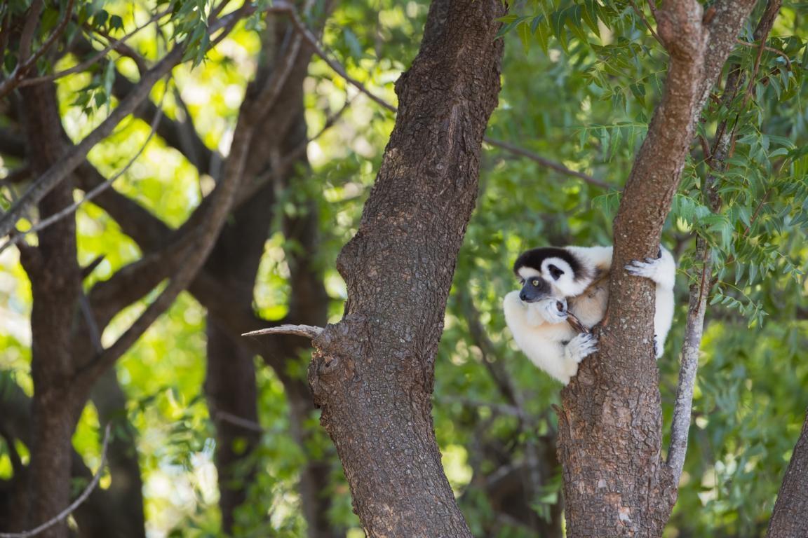 Seidensifakas in den Primärwäldern Madagaskars