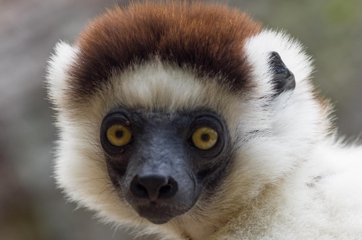 Lemuren in den Primärwälder von Madagaskar