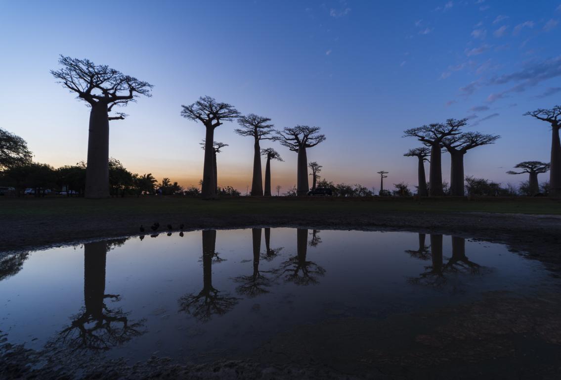 Baobab-Allee bei der Westsafari auf Madagaskar