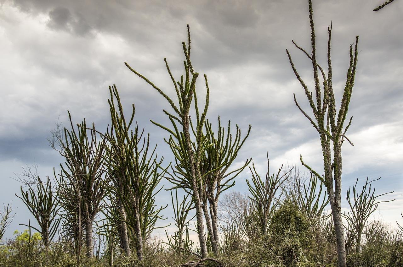 Hohe Sukkulenten auf Madagaskar